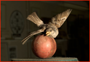Jehangir Khan's sparrow killing ball in the MCC Museum.